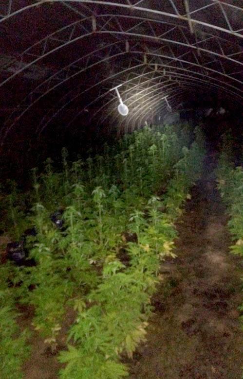 Zasad marihuane u Arilju