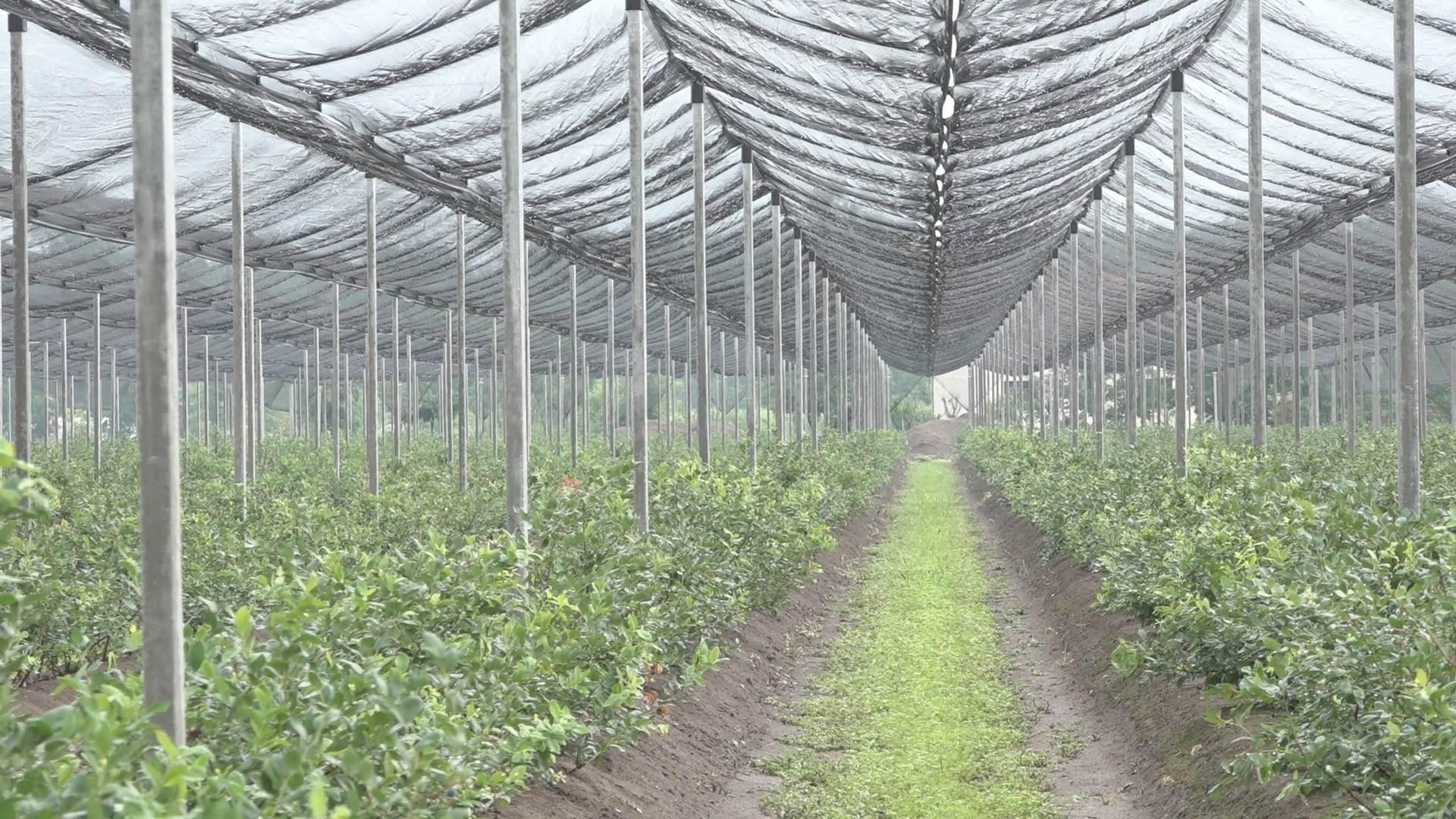 1626791730cacak-borovnica-biljka-buducnosti-fotorina3