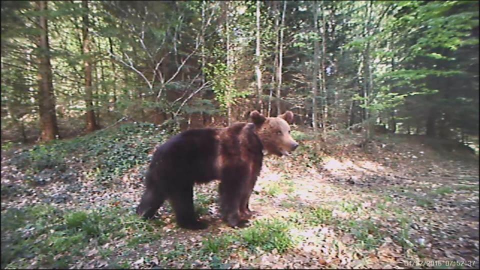 Snimak medveda sa kamere na hranilištu