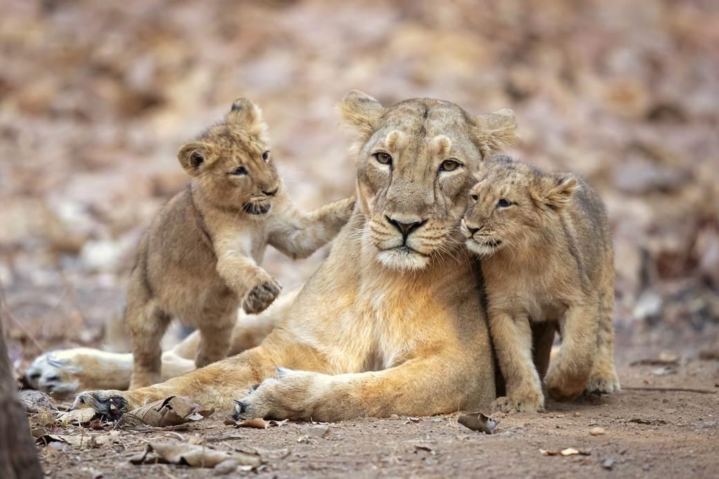 Lavica sa mladuncima