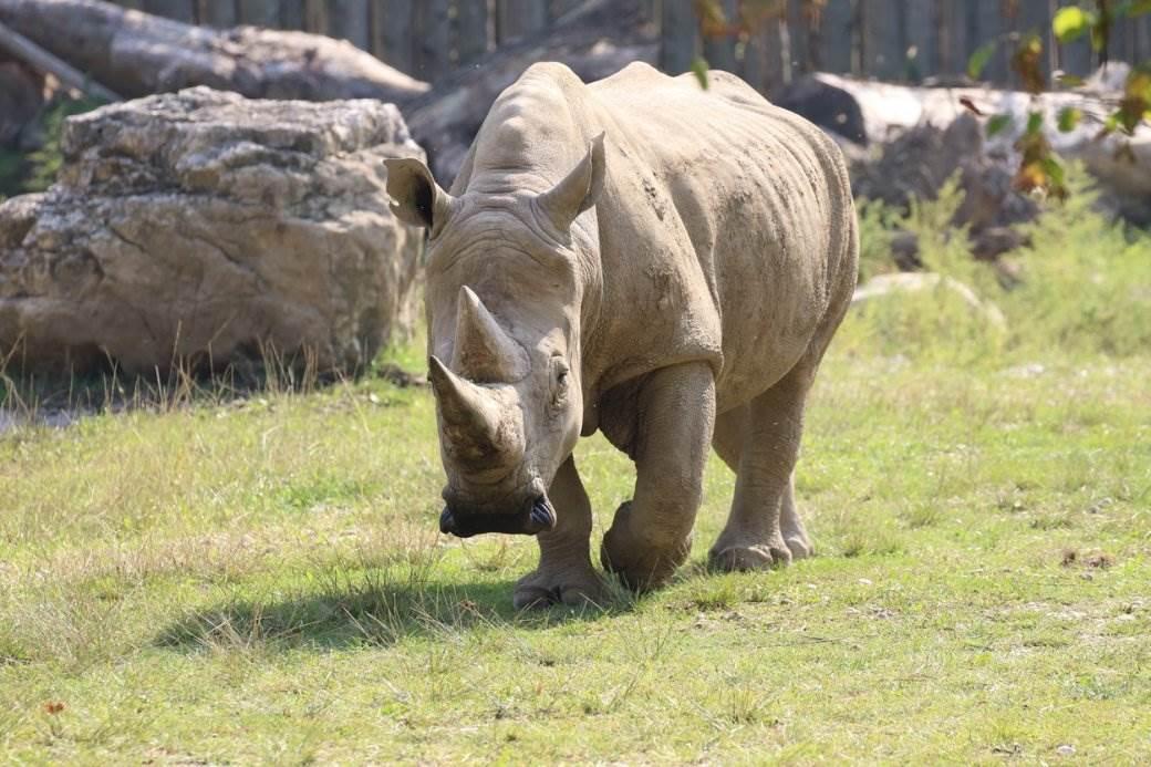 beli nosorog tobi