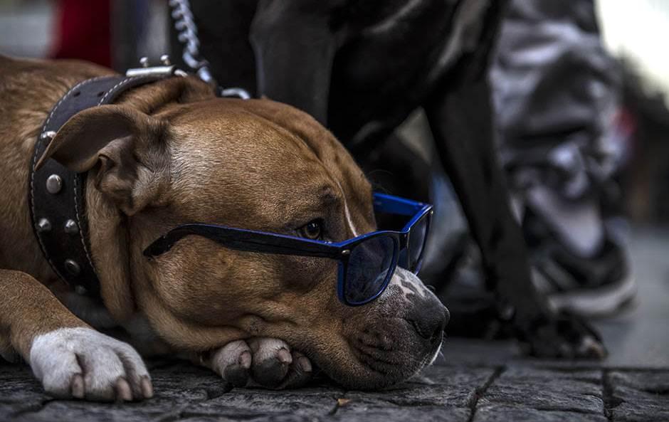pas, naočare za sunce
