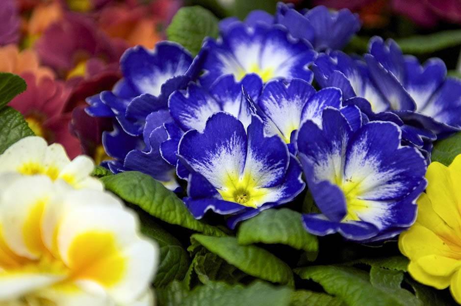ljubičica, cveće, cvet