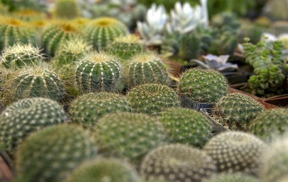 mali kaktusi u saksijama
