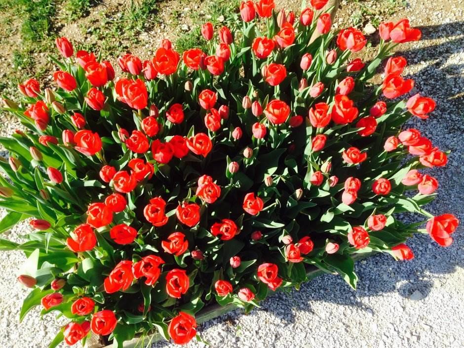 park, cveće, lale