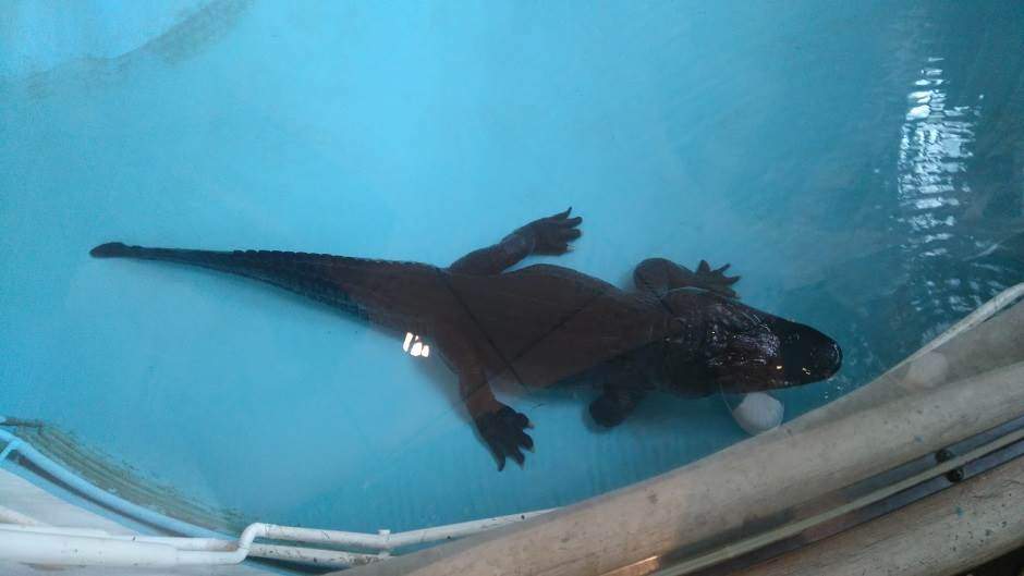 aligator, Muja, aligator Muja, zoološki vrt, beogradski zoološki vrt, Zoo vrt