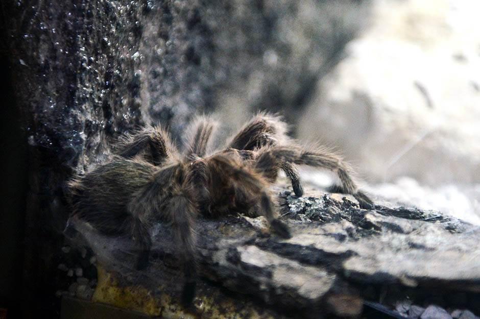 Kakvog je ukusa tarantula