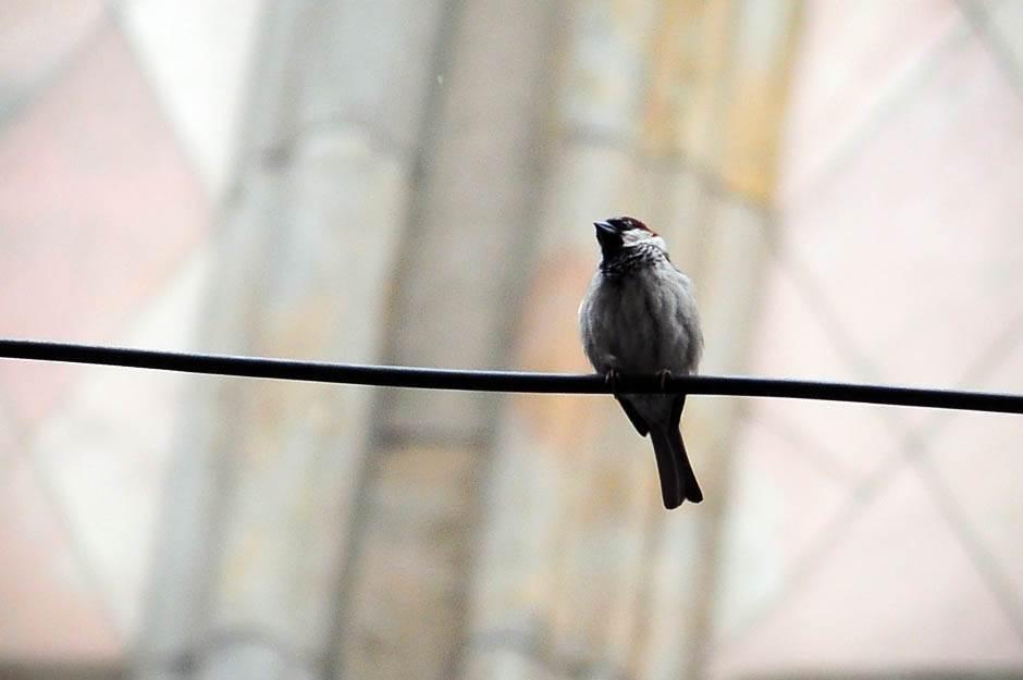 vrabac, ptica, vrapci, ptice,