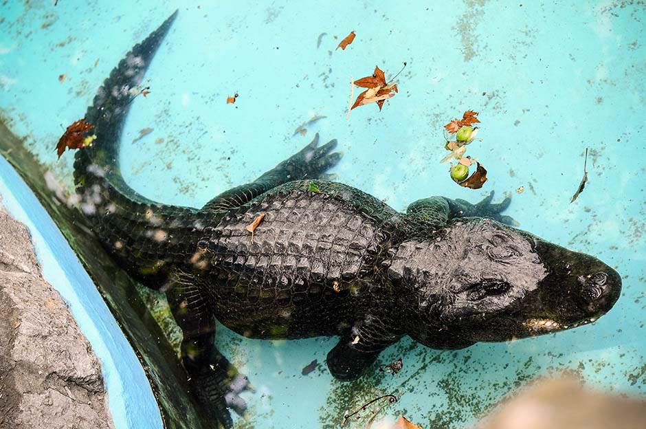 zoo vrt, zoološki vrt, muja, krokodil, aligator