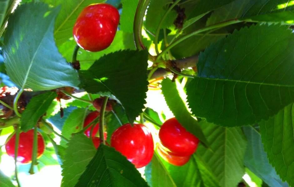 trešnje, višnje, voće