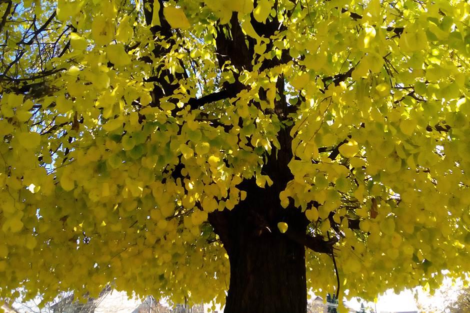 Jesen, lišće, lisce, jesen drvo, drveće, drvo, žuto lišće, jesen, park, drveće, zuto lisce