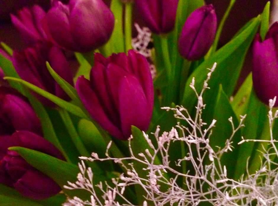 cveće, cvet, lale