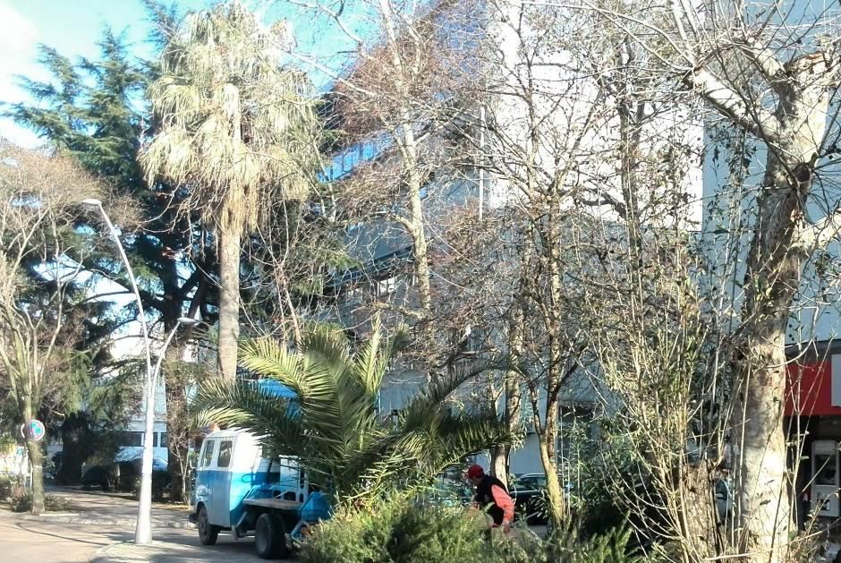 BORBA: Crna Gora ostaje bez palmi!? FOTO