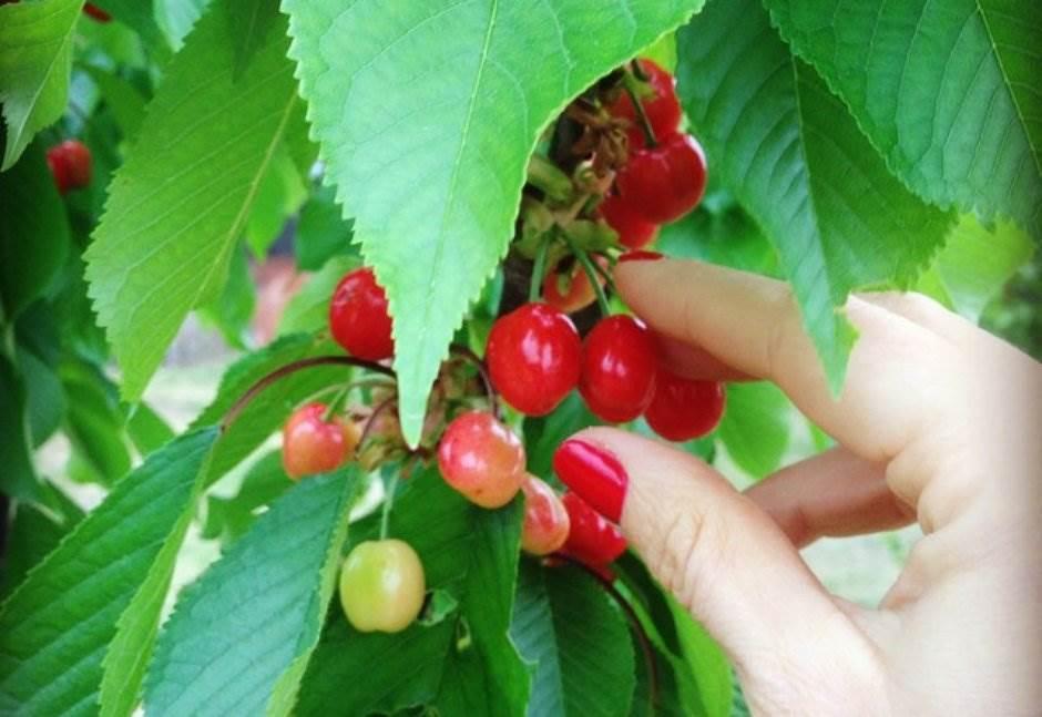 višnje, trešnje, voće