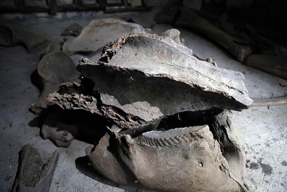 Negotin: Lobanju mamuta čuva u pimnici!