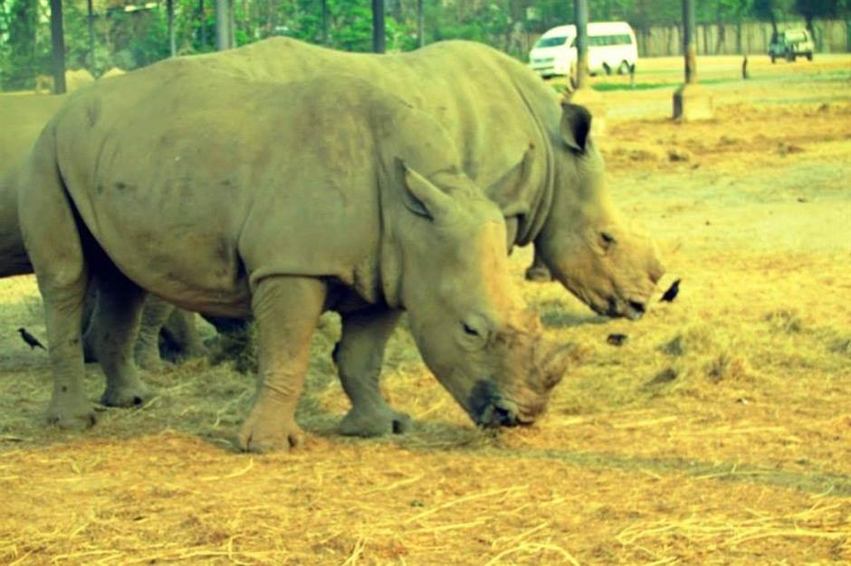 safari, nosorog, životinje