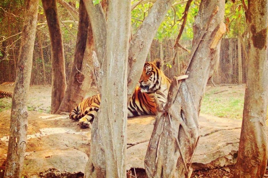 safari, životinje, tigar