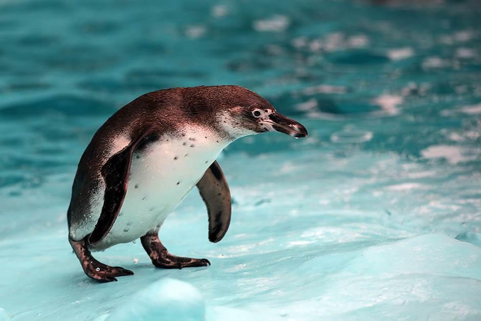 Ekologija, nauka za budućnost - Page 2 Pingvini-zoo-vrt-stefan-stojanovic-19-