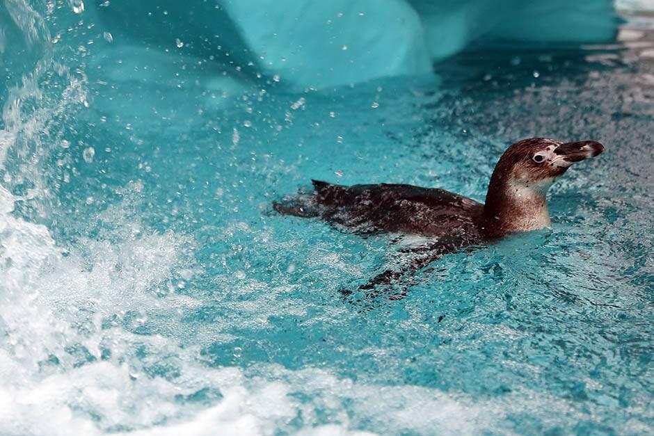 Nova atrakcija u Beo Zoo vrtu: Pingvini!