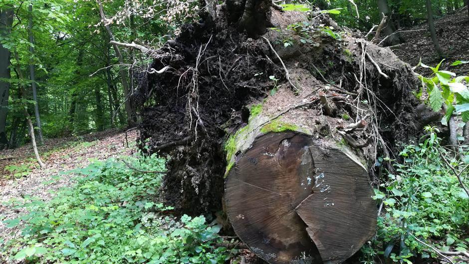 stablo, seča drveća, drvo, seča stabala, šuma, šume