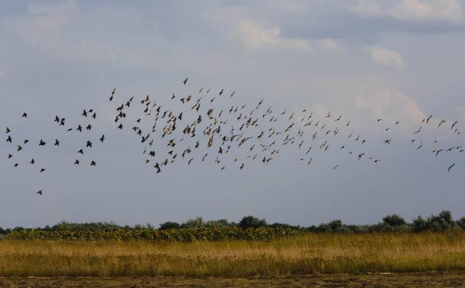 vojvodina, polja, ptica, ptice, livada, polje