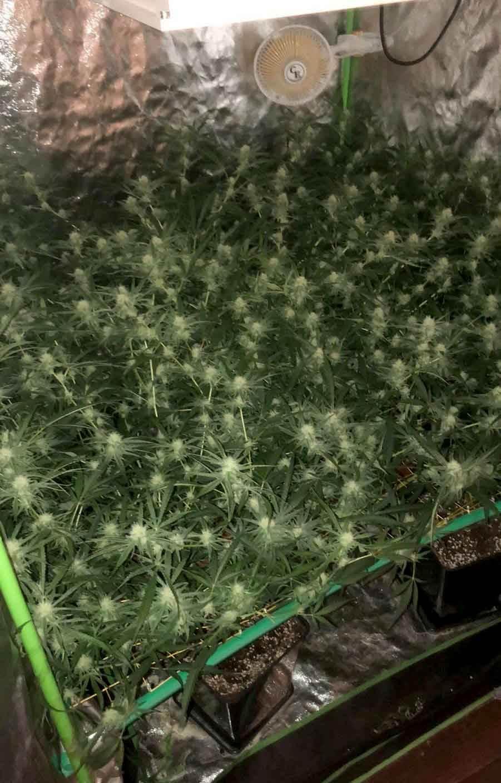 Marihuana droga.jpg