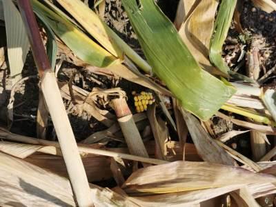 kukuruzište u selu kod topole