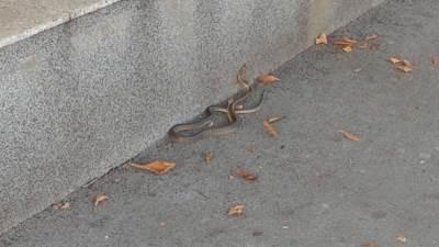 zmija, zmije