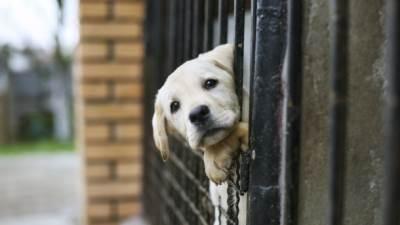 azil psi šinteri pas