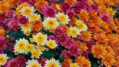 cveće, hrizanteme