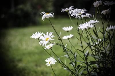 bele rade, bela rada, cveće, priroda, cveve, cvet,