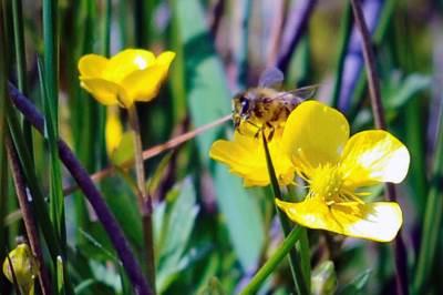 osa, pčela, insekt, priroda, cvet, cveće, pcela
