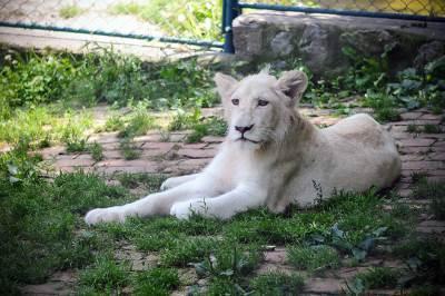 beo zoo vrt, divlje životinje, zoološki vrt, lav, lavovi, životinje