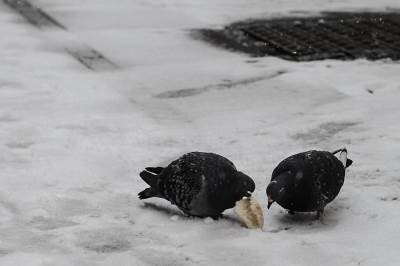 sneg, zima, golub, ptica, hladno, beograd,