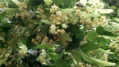lipa alergija polen cveće drvo