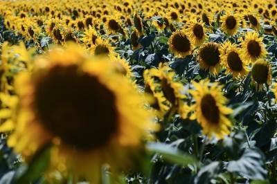 suncokret, suncokreti, polje, poljoprivreda, cvet, leto, zemlja, priroda,