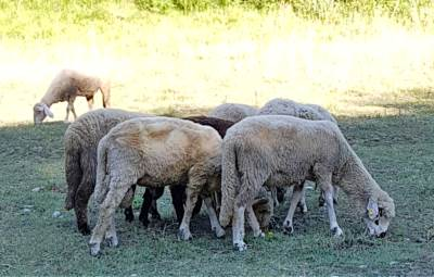 ovce, ovca, zivotinje, domace zivotinje