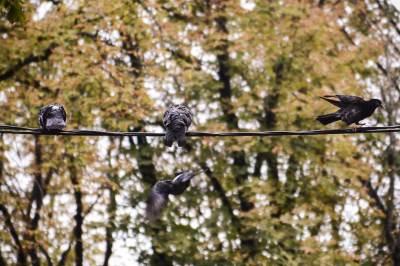 jesen, golub, golubovi,