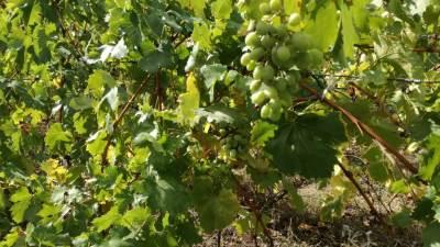 vinograd, vinova loza, grožđe