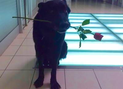 pas, cvet, ruža