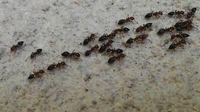 mrav, mravi, insekti, bube