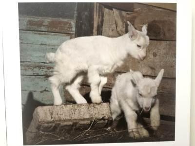 koza, koze, jarac, jarčevi, jare, jarići