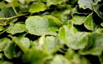 kiša, list
