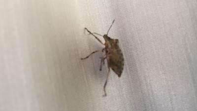 smrdibuba, smrdibube, bube, buba, insekt, insekti