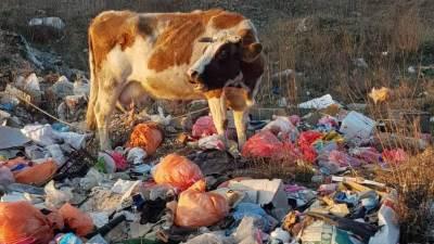 krava, smeće deponija ekologija